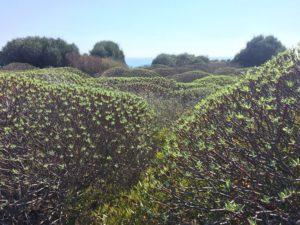 euforbia giannutri isola